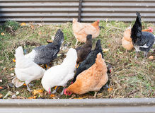 Chickens eating food scraps Royalty Free Stock Photo