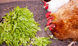 Chickens eating lettuce Stock Photo