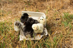 Chickens in an egg carton Stock Images