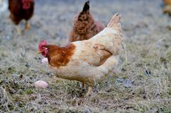 Chickens and eggs Royalty Free Stock Images