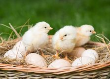 Chickens and eggs. Stock Photography