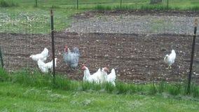 Chickens enjoying a good scratching in a tilled garden stock photo