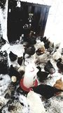 Chickens Everywhere. S. , , , , chickens, farm, snow, winter, feed royalty free stock photography