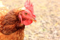 Chickens face profile Royalty Free Stock Photo