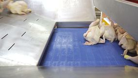 Chickens fall on the track for distribution between workers and boning. Chicken boning and separation of chickens into. Parts stock footage