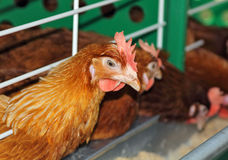 Chickens on the farm Stock Image