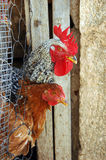 Chickens Farm Stock Photo