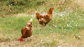 Chickens on a farm Royalty Free Stock Image