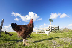 Chickens on a farm with a blue sky Stock Image