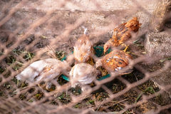 Chickens on the farm. Eat behind the fence Stock Photos