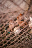 Chickens on the farm. Eat behind the fence Royalty Free Stock Images