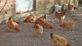 Chickens in a farm in Greece stock footage