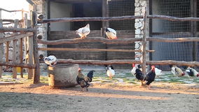 Chickens on the farm Royalty Free Stock Photography
