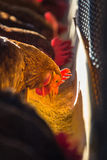 Chickens in farm Stock Image