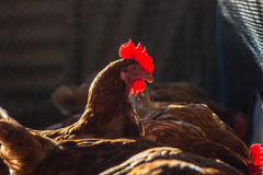 Chickens in farm Royalty Free Stock Photography