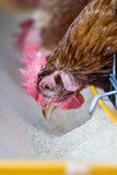 Chickens in farm Stock Images