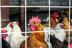 The chickens on the farm Royalty Free Stock Images