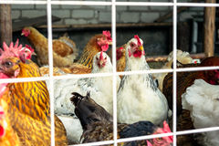 The chickens on the farm. Sits in behind the mesh fence Royalty Free Stock Images
