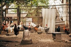 Chickens on farm. Some chickens on the farm stock photography