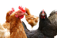 Chickens on the farm. Standing and gawking Royalty Free Stock Images