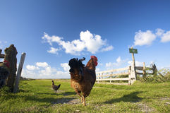Chickens on a farm in summer with a blue sky Stock Photo