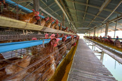 Chickens. In the farm at Thailand Stock Photography