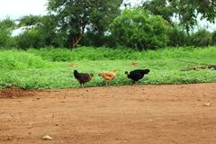 Chickens in farm. Three farm chickens in a small masai house hold farm Royalty Free Stock Photos