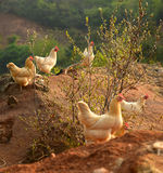 Chickens on farmyard. Chickens bred by peasants finding foods around the village Royalty Free Stock Images