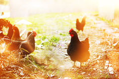 Chickens on farmyard Royalty Free Stock Photo