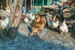 Chickens in the farmyard. Chickens in the farm yard Stock Photo