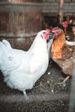 Chickens in the farmyard. Chickens in the dirty farmyard Royalty Free Stock Image