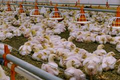 Farm for Breeding Chickens. Chickens for fattening on a modern poultry farm stock images