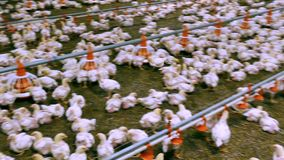 Many chickens on a poultry farm stock footage