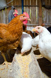 Chickens feeding Stock Image