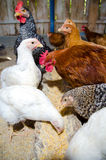 Chickens feeding. Inside a chicken coop Stock Images