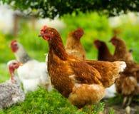 Chickens feeding on grass. At organic farm royalty free stock photos