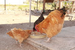 Chickens feeding. A male rooster and hens feeding in a container Stock Image