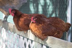 Chickens on fence royalty free stock photo