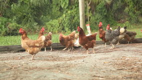 Chickens and Fence Rack Focus. Chickens roaming about in a fenced in area stock video