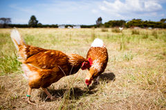 Chickens In A Field Stock Image