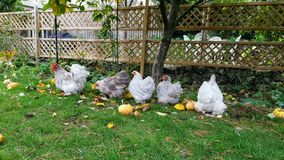 Chickens. Five chickens roaming in the garden stock image