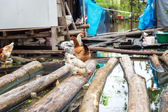 Chickens on Floating Logs. In the flooded Belen neighborhood of Iquitos, Peru stock photo