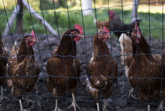 Chickens. Four chickens behind the fence Stock Photo