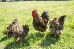 Chickens free range. Free range chickens on a field of grass royalty free stock images