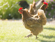 Chickens. Free range chickens roam the yard on a small farm Royalty Free Stock Photography