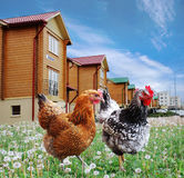 Chickens front of the cottages. Collage Stock Photo