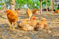 Chickens Gallus gallus domesticus in a paddock laying down in dirt, with warm light from the morning sunset. Rural scene as concept for bio, healthy food royalty free stock photo