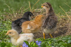 Chickens in garden Royalty Free Stock Images