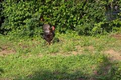 Chickens in garden Stock Image