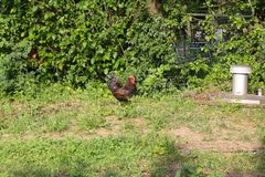Chickens in garden Royalty Free Stock Photo